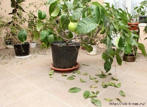 как вырастить лимон из косточки, как вырастить плодоносящий лимон из косточки,