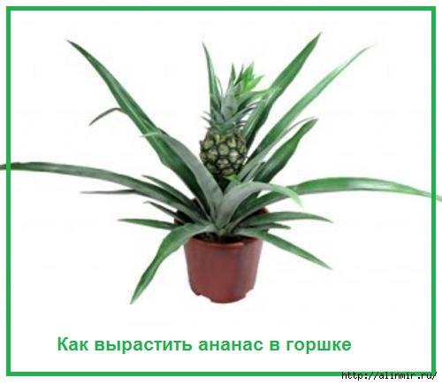 5283370_Kak_virastit_ananas_v_gorshke (500x435, 63Kb)