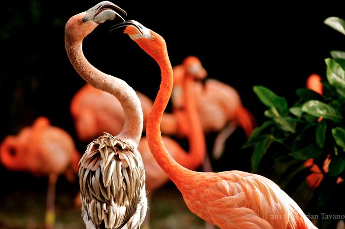 Flamingo_20 (700x465, 186KB)