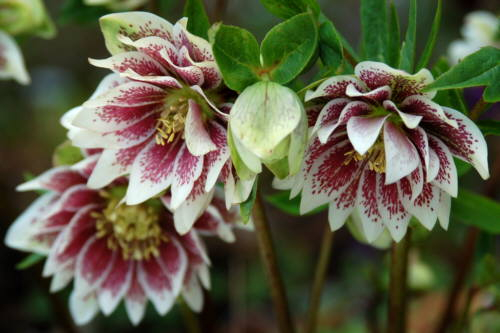 Helleborus_double_spotted1 (500x333, 140Kb)