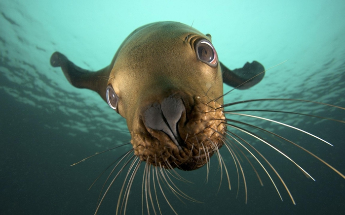 3821971_Animals_Under_water_Seal_under_water_035735_ (700x437, 191Kb)