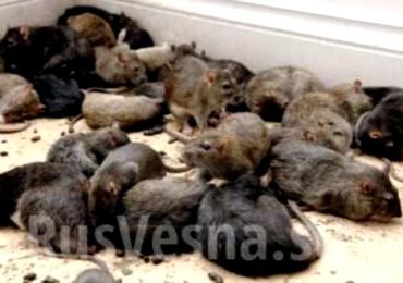 Крысы захватили Киев (370x260, 39Kb)