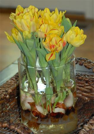 Вырастить тюльпаны в вазе