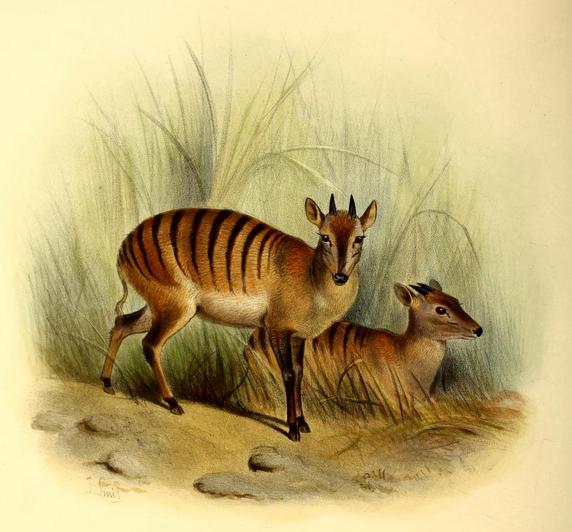 The_book_of_antelopes_(1894)_Cephalophus_doriae (572x532, 493Kb)