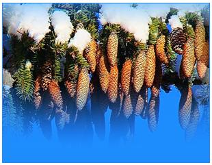 шишки-о (310x241, 165Kb)