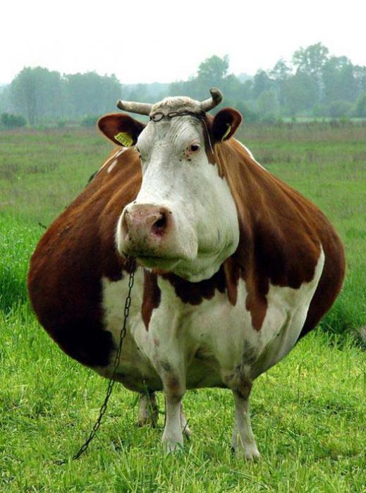 Корова (519x700, 60Kb)