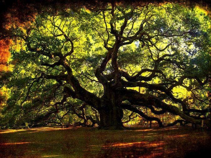 дуб, дерево, донор/1416338380_Dub_ruslife (700x525, 176Kb)/3421357_Dub_ruslife_1 (674x506, 128Kb)