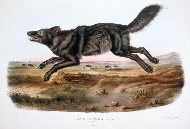 Blackwolfdog (609x414, 198Kb)