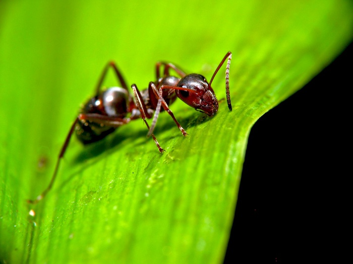 Ant_on_leaf (700x525, 80Kb)