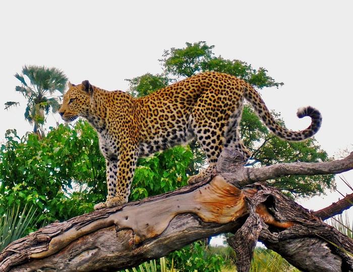 kartinki24_leopards_1941 (700x540, 140Kb)