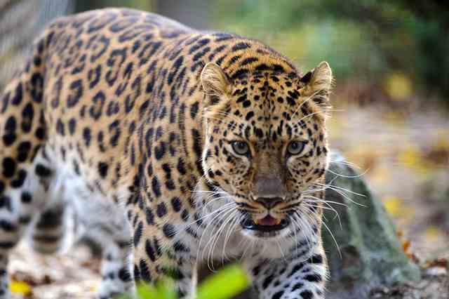 Facts-about-Amur-Leopard (640x426, 24Kb)