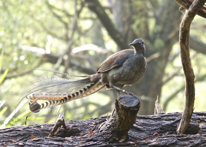Lyrebird (700x499, 194Kb)