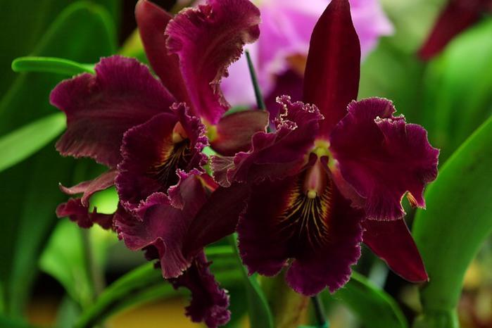 5230261_orhideya11 (700x466, 67Kb)