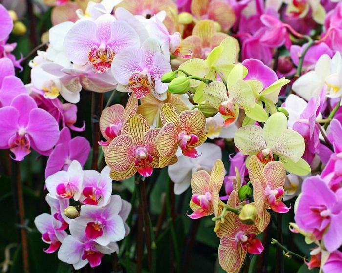 5230261_orhideya (700x560, 332Kb)
