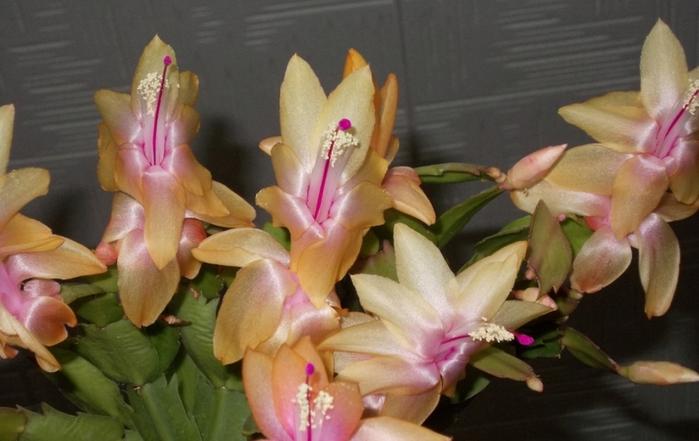 Цветок декабрист виды и