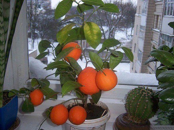 мандарины (604x453, 264Kb)