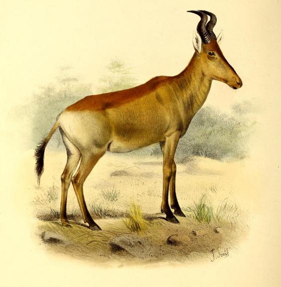 The_book_of_antelopes_(1894)_Bubalis_lichtensteini (564x576, 504Kb)