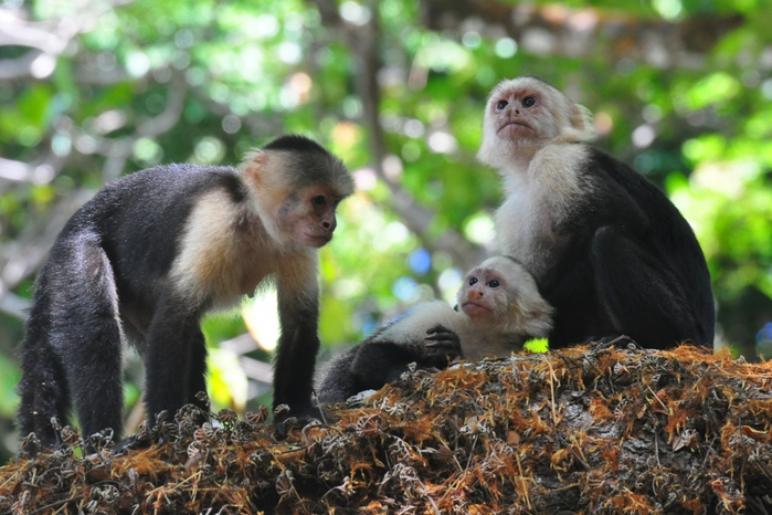 обезьяны и деньги/3185107_prikolnaya_istoriya_s_obezyanami (700x466, 272Kb)