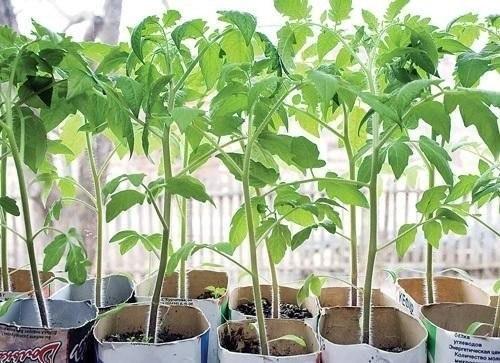 Выращивание-рассады-томатов (500x363, 60Kb)