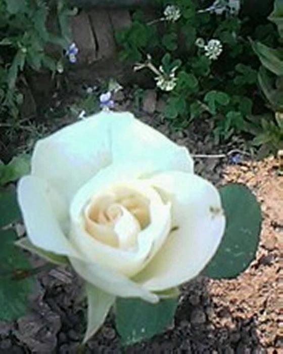 Роза (560x700, 207Kb)