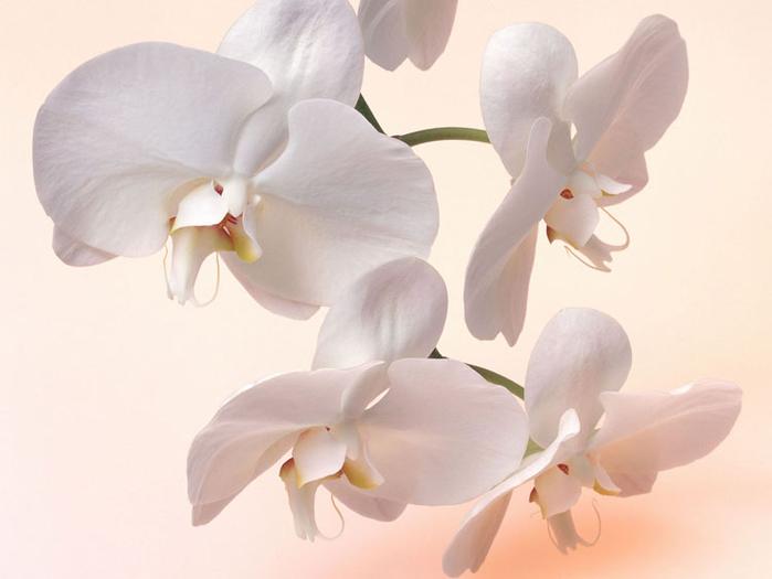 орхидеи 1 (700x525, 200Kb)