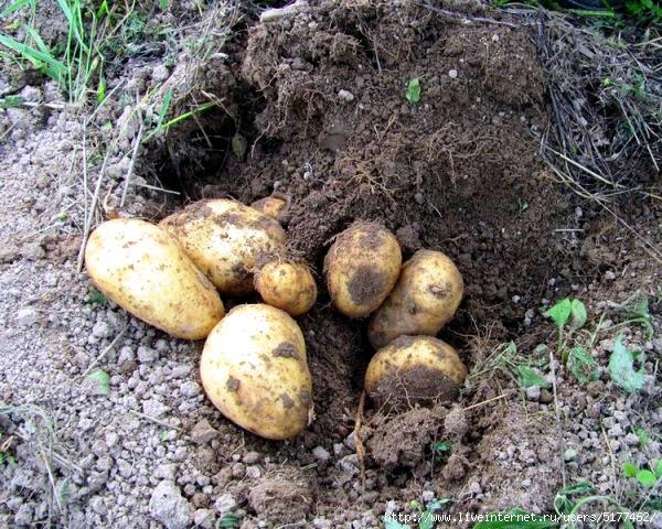 рекламодатели, сколько вёдер картошки для посадки на 1 сотку столичном