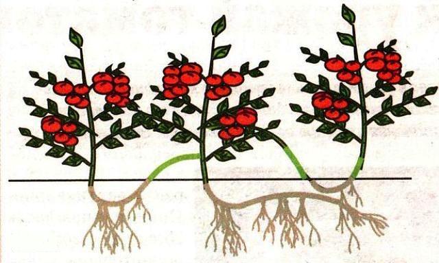 tsarskiy-urozhay-pomidorov (640x383, 448Kb)