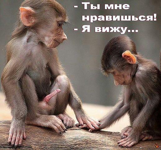 А обезьяны член (517x480, 232Kb)