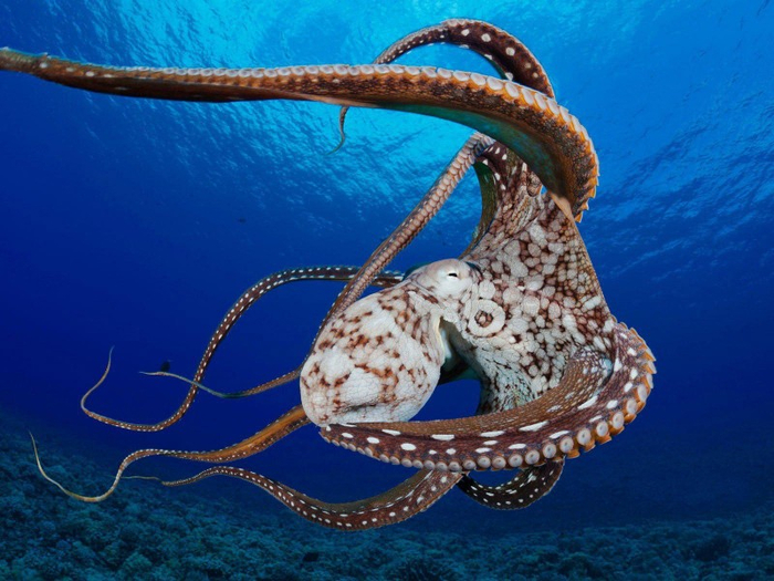 Giant-Octopus-Close-Up-Wallpaper-800x600 (700x525, 400Kb)