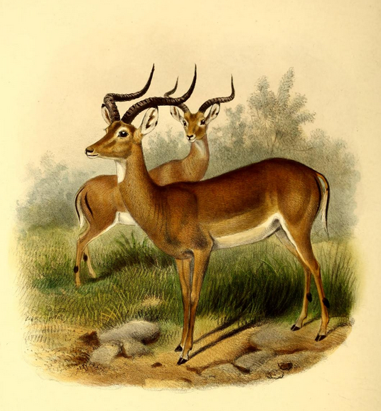 The_book_of_antelopes_(1894)_Aepyceros_melampus (536x578, 488Kb)
