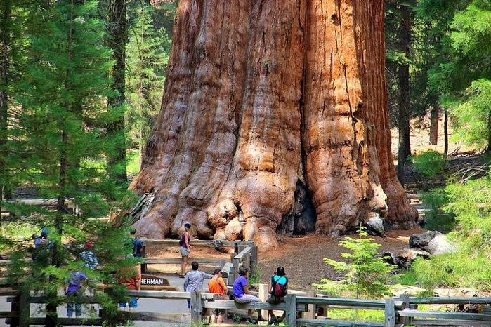 Генерал Шерман самое большое дерево в мире, ему 2000 лет, находится в Калифорнии США (700x466, 194Kb)