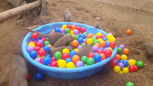 3821971_Ball_Pit_Mongooses__Awesome_mp4_snapshot_00_09_2014_12_15_15_33_39 (640x360, 51Kb)