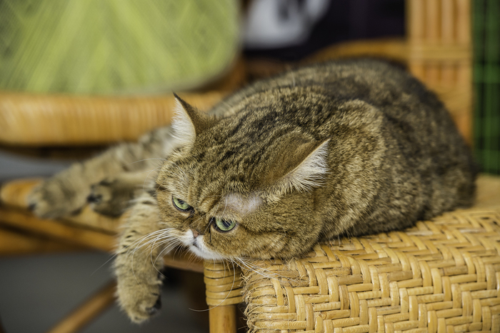 кошка кафи фото 8 (700x466, 356Kb)