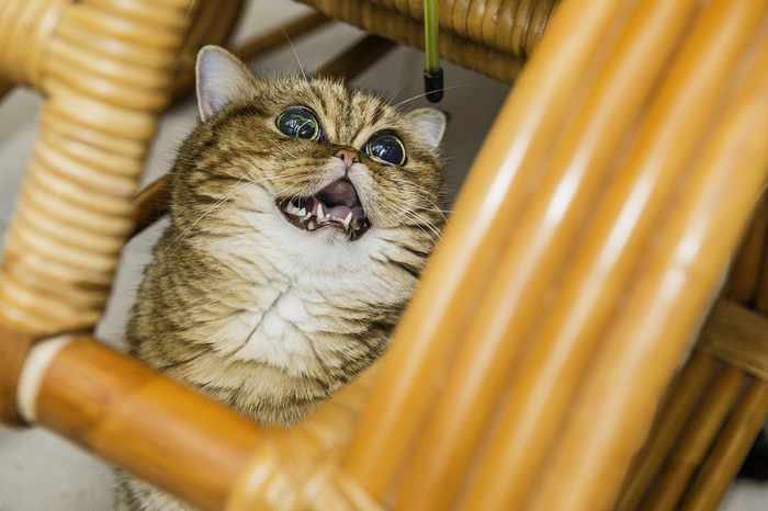 кошка кафи фото 11 (700x466, 343Kb)