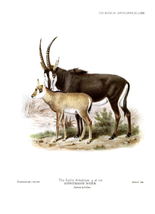The_book_of_antelopes_(1894)_Hippotragus_niger_II (507x700, 244Kb)