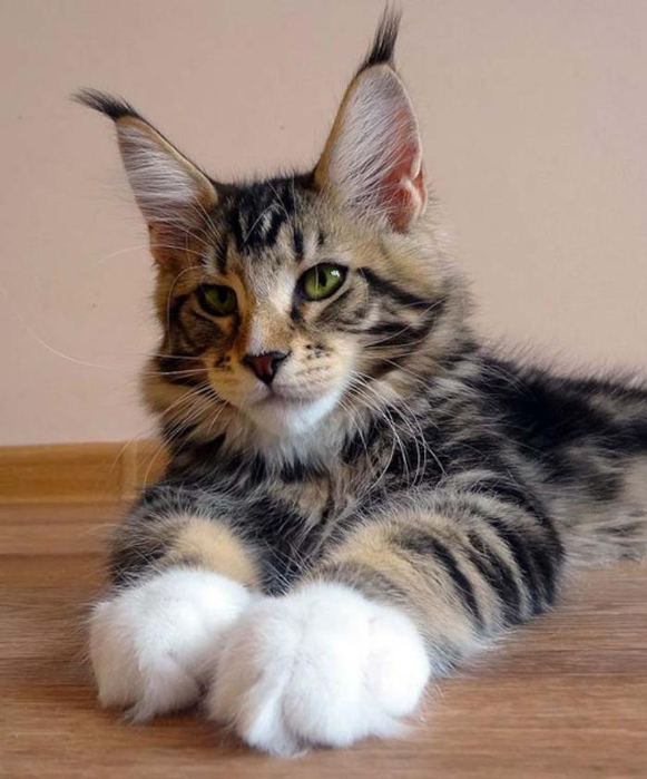 maine-coon-paws-kitten (581x700, 276Kb)