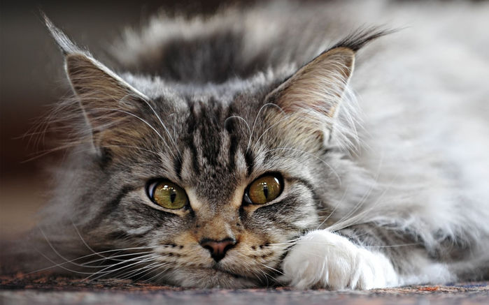 maine-coon-cat2 (700x437, 255Kb)