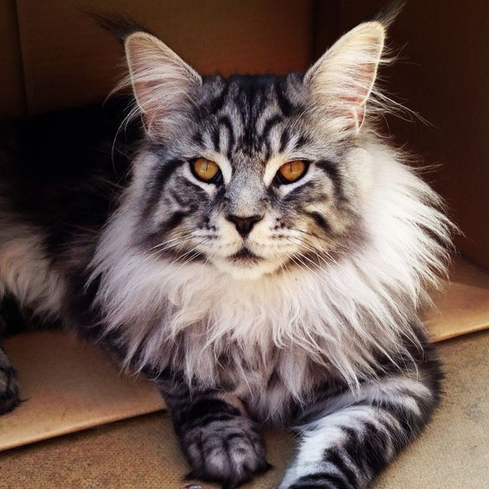 Look-At-This-Beautiful-Maine-Coon-Imgur (700x700, 416Kb)