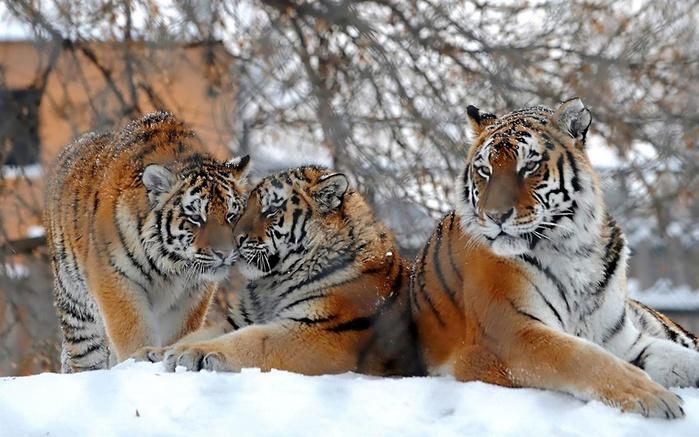 339780_tigry_-zima_-zoopark_1920x1200 (700x437, 137Kb)
