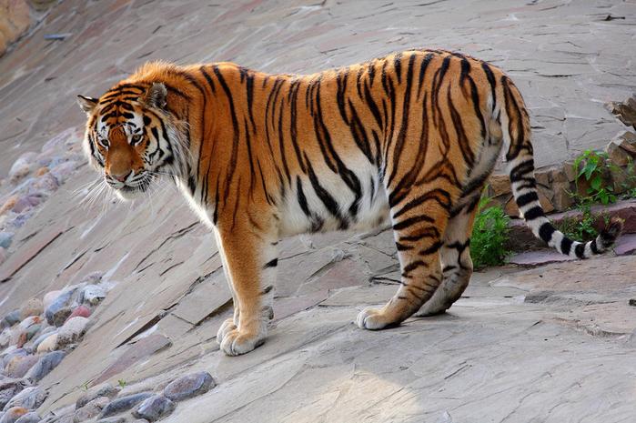 tiger_amur (700x465, 356Kb)