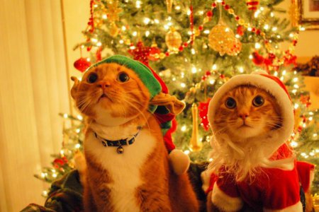 1416474648_christmas-cats-480x800 (450x300, 35Kb)
