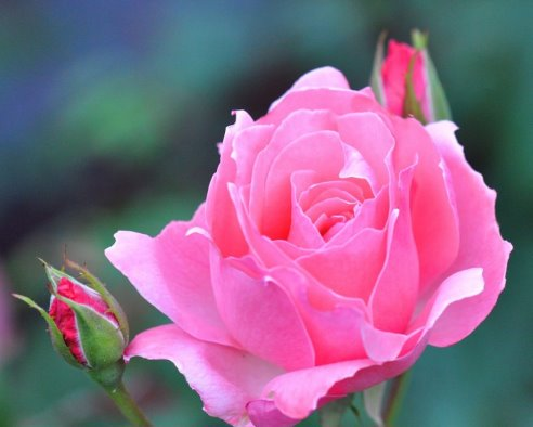 Картинки розовая роза