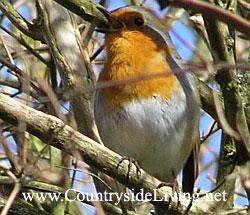 зарянка -птичка рождества Robin (250x215, 25Kb)
