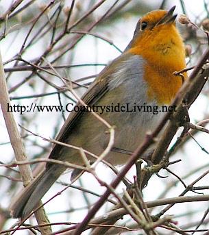 зарянка поёт Robin4 (305x343, 46Kb)