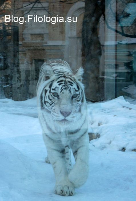 Фото белого тигра в московском зоопарке (476x700, 46Kb)