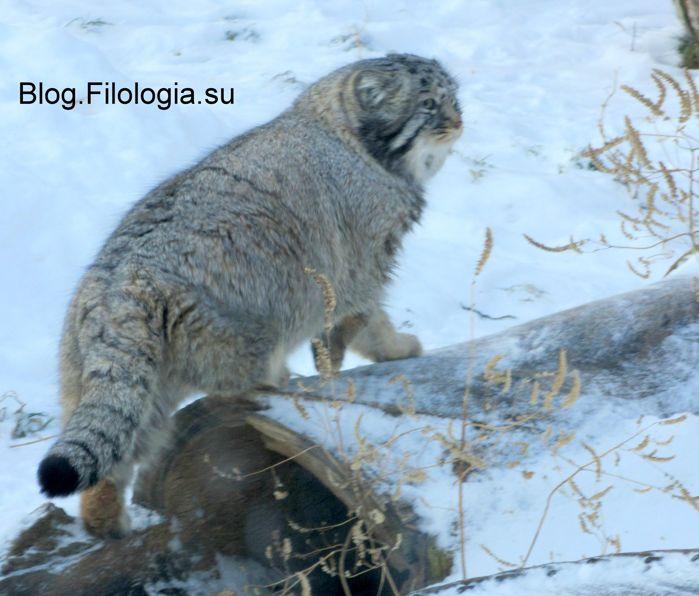 Кот манул в московском зоопарке (699x596, 60Kb)