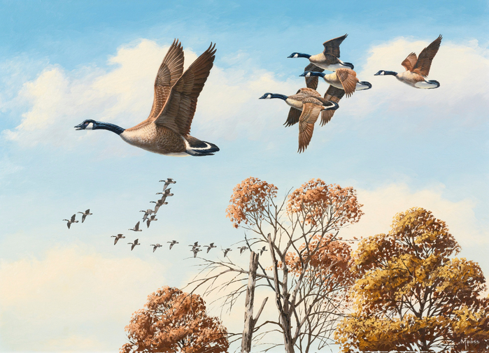 CANADA GEESE IN FLIGHT (700x505, 435Kb)