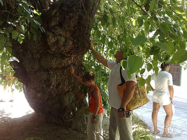 400-летняя шелковица, во дворе Ханского дворца. Даёт мужчинам здоровье! фото светлана утушкина ge (640x480, 374Kb)
