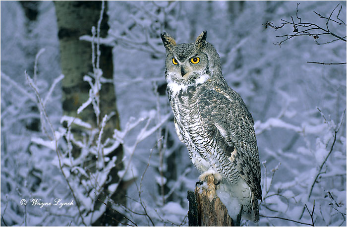 4776467_11Great_Horned_Owl_104 (700x458, 127Kb)