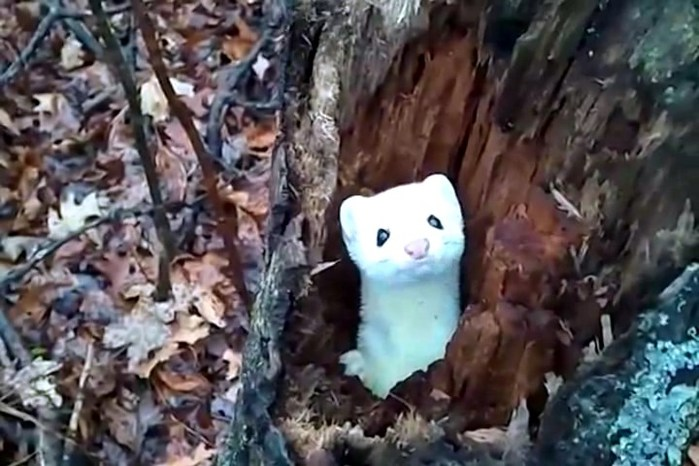 3821971_Ermine_in_a_Tree_flv_snapshot_00_20_2015_01_17_13_52_37 (700x466, 83Kb)